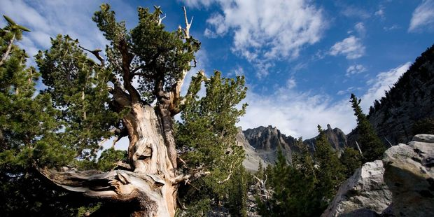 A bristlecone pine tree in Nevada's Great Basin National Park, with Wheeler Peak in background. Photo / 123RF