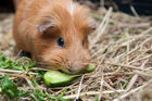My daughter researched how long the guinea pigs would live and when she learned that they sometimes made it to eight years. Photo / 123RF