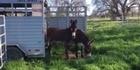 Watch: Watch: Donkeys scared by grass