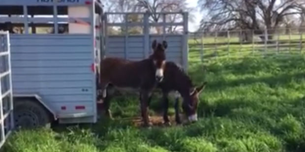 Loading Montgomery Creek Ranch has posted a video of the adorable moment the Black Mountain burros almost stood still in shock as they gazed at their new home. Photo / Supplied