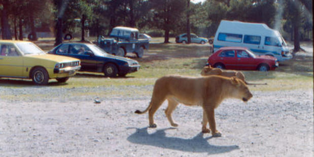 Lions once roamed around the parked cars at Orana Wildlife Park. Photo / Christchurch Star