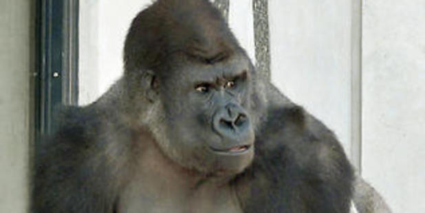 This is one of the three gorillas that arrived at Orana Wildlife Park last year. Photo / Christchurch Star