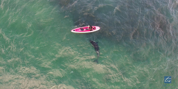 An orca and kayaker filmed from above by drone. Photo / Top View Photography