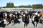Global production has been falling after last year's slump in dairy prices prompted farmers to rein in output. Photo/File
