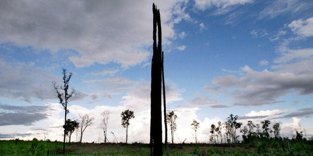 A lone, burned stump - all that's left of a once dense forest in a field cleared for palm oil plantations in Indonesia. Photo: AP