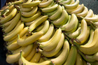 Testing on banana plants in north Queensland is underway amid Panama disease concerns. Photo/File
