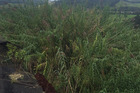 TIME'S UP: A thriving crop of giant reeds, the target of a new biocontrol proposal. PHOTO/SUPPLIED