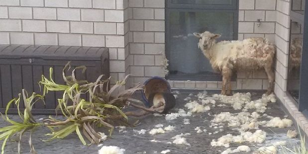 A frightened sheep that has been mauled by a dog outside the home of Vern Suckling just north of Dargaville yesterday.