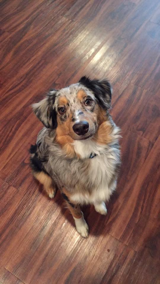 Luca, the Australian Shepherd belonging to Katie Riggs.