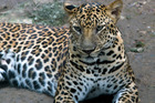The leopard was killed by police after it mauled the little girl. Photo / 123rf