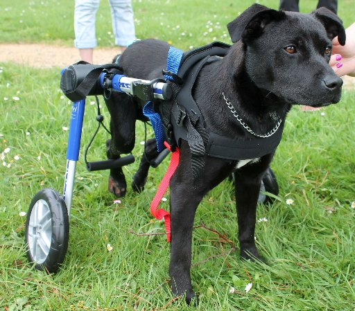 Raumee tries out her new wheelchair from Top Dog Direct. Photo / Alecia Rousseau