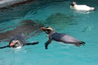 From left: Gari, Louie, and Denny the endangered Tawaki Fiordland Crested Penguins swim together at The Nest Te Kohanga. Photo/supplied by Wellington Zoo
