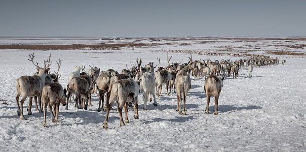 Reindeer herd at a nomadic camp in Russia. Photo / Getty