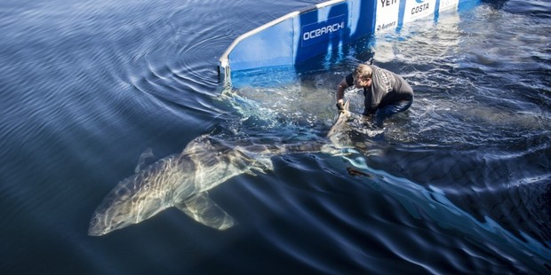 Miss Costa, a white shark, released after being tagged by researchers. Picture / Ocearch.org