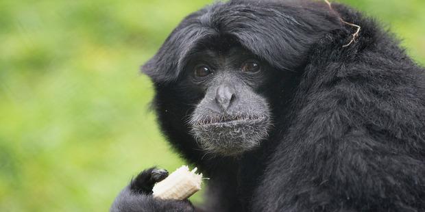 Siamang Gibbons at Hamilton Zoo. Photo / Peter Drury
