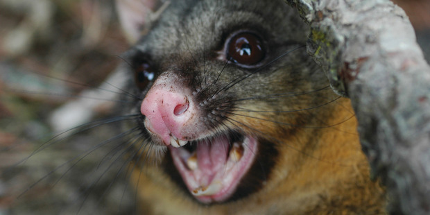 Landcare Research scientists are developing a species-specific toxin to help eradicate the possum from New Zealand. Photo: File