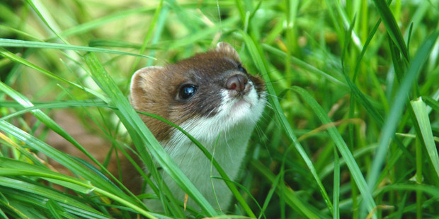 Stoats could be eradicated from New Zealand by 2050. Photo / Patrick Garvey