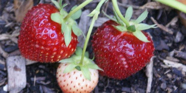 Wet weather means your strawberries and other veges may not be ready for Christmas. Photo / File