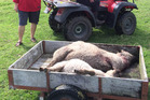 More sheep killed in a second attack by a dog or dogs on Colville Rd, near Dargaville.