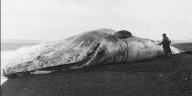 "The large whale, which at first became an item of interest on Napier's Marine Parade in 1920, soon turned to an ""odoriferous presence"". Photo/Collection of Hawke's Bay Museums Trust, Ruawharo Tā-ū-rangi, 53"
