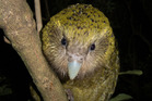 Hakateri  the Kakapo, seen on Codfish Island Photo/Andrew Digby, Department of Conservation.