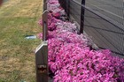 BRILLIANT: Mix all three colours of the bubblegum range of petunias for a stunning effect.