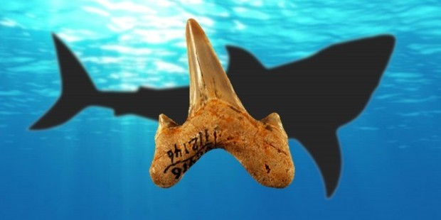 The newly discovered ancient shark Megalolamna paradoxodon had teeth measuring 4.5cm tall. Photo: Kenshu Shimada/DePaul University