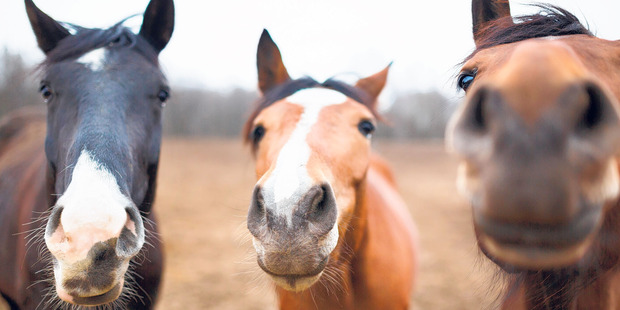 All things equine have galloped into Hamilton this weekend.
