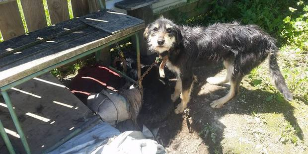 One dog was chained next to a dead dog, which can be seen lying in the shadow, and had only enough chain to stand up and lie down. Photo/supplied