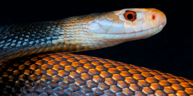 The boy was bitten three times by a coastal taipan in his family's chicken pen. Photo / 123RF