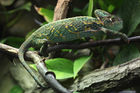 Five veiled chameleons, also known as the Yemen chameleon, were part of the shipment stopped at the airport. Photo / 123RF