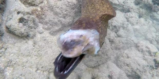 Loading The eel turned its attention onto the diver as he filmed the attack. Photo / Caters News