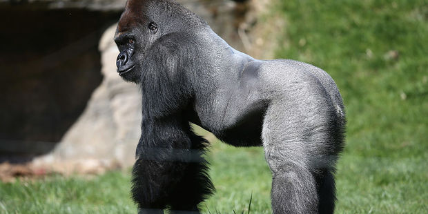 Kumbuka, a 15-year-old western lowland gorilla, explores his new enclosure in ZSL London Zoo. Photo / Getty Images