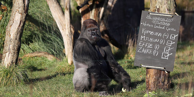Kumbuka, a Western Lowland gorilla, in his enclosure during ZSL London Zoo's annual stocktake of animals. Photo / Getty Images
