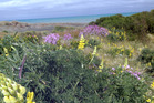 Pink ragwort and lupin in flower on the Whanganui coast. PHOTO/ FILE