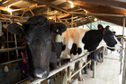 The camera was allegedly aimed at the area where the farmer places milking cups on the cows. Photo / File
