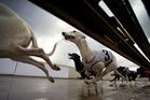 Greyhound action. Photo / Brett Phibbs