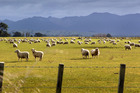 A teen was airlifted to hospital with sheep-related injuries. PHOTO / FILE