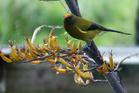 WELCOME: The korimako, or bellbird, is more heard than seen on Napier Hill, writes Mark Story. PHOTO FILE