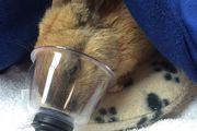 A rabbit did not survive forced marijuana inhalation, the SPCA says. Photo/Facebook