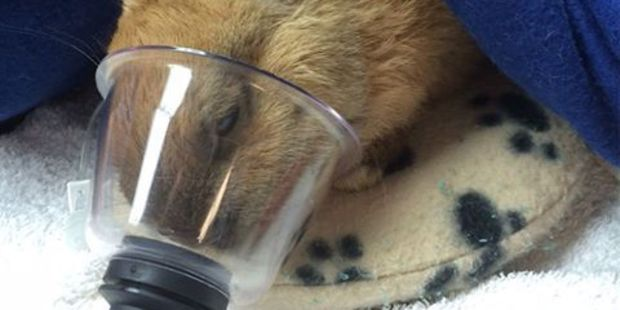 A rabbit did not survive forced marijuana inhalation, the SPCA says. Photo/Facebook