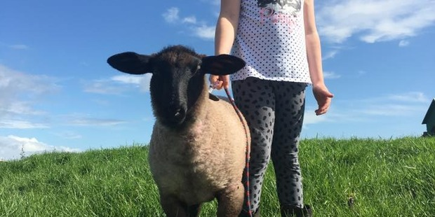 Owner Sarah Ensor said her daughter Ella witnessed a youth kicking the award-winning lamb on Friday ath the Oropi School Calf Club. PHOTO/SUPPLIED