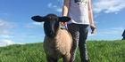 Watch: Pet lamb dead after repeated kicking by youth