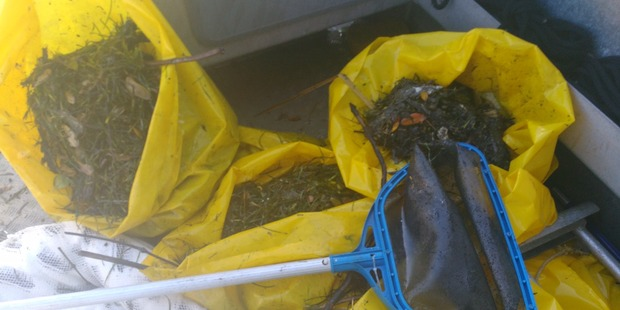 About 80kgs of oily flotsam/jetsam and sea grass were removed from Tauranga Port today. Photo/supplied