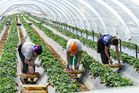 Immigrant seasonal farm workers pick and package strawberries. Photo / 123RF
