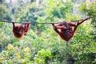 There are many opportunities to see orangutans in Borneo's wildlife parks. Photo / 123RF