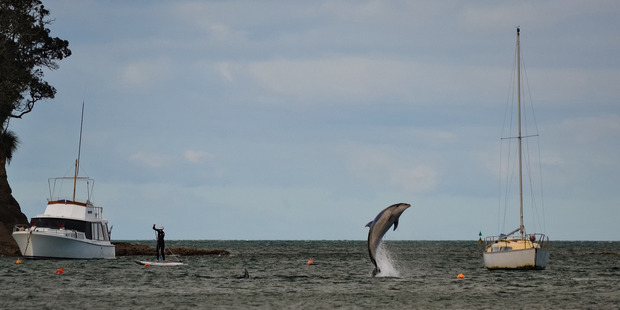 A dolphin leaps from the water in Waiake Bay, Torbay. Photo / Supplied
