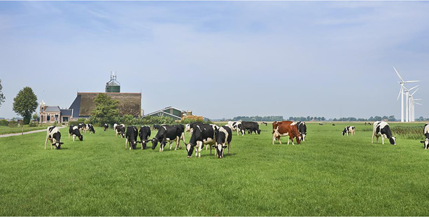 Outdoor grazing is often out of bounds for Dutch cows, which spend half the year indoors.