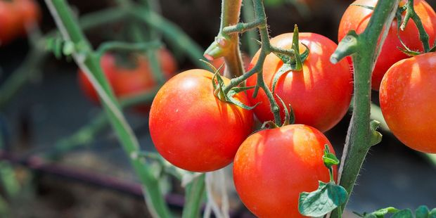 Home grown tomatoes have deeper flavour as they ripen on the vine. Photo / 123rf