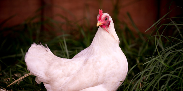 A dead chicken is not the first thing that comes to mind as a handy weapon to have on hand.  But a man has been charged in the Christchurch District Court for assault, using a chicken as a weapon.